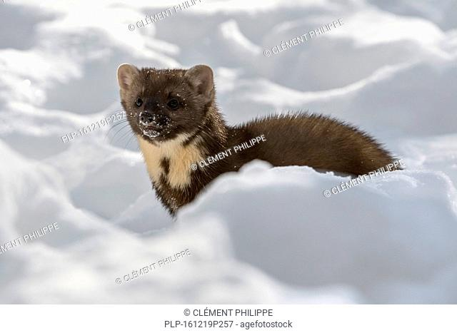 European pine marten (Martes martes) hunting in the snow in winter