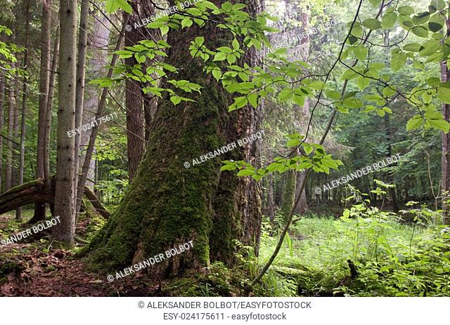 Old deciduous stand of Bialowieza Forest Landscape Reserve just before sunset in summer,Bialowieza Forest,Poland,Europe