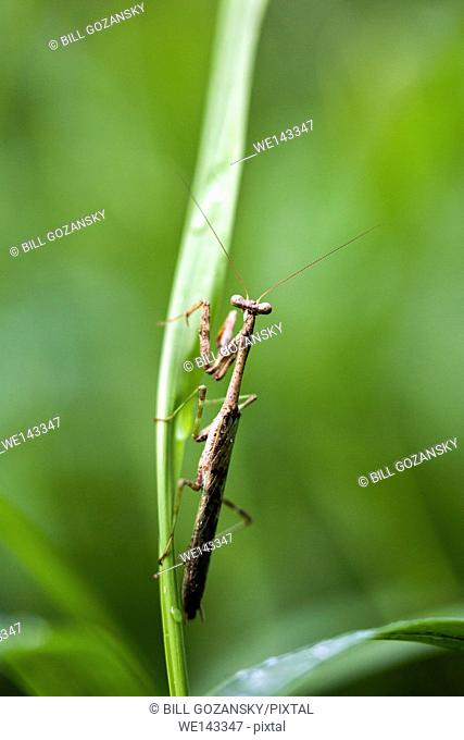 Carolina mantis | Praying Mantis (Stagmomantis carolina) - Camp Lula Sams, Brownsville, Texas, USA