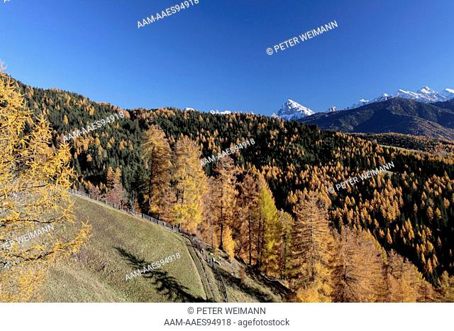 Autumn, Larch Trees, Percha, Puster Valley, South Tyrol, Italy