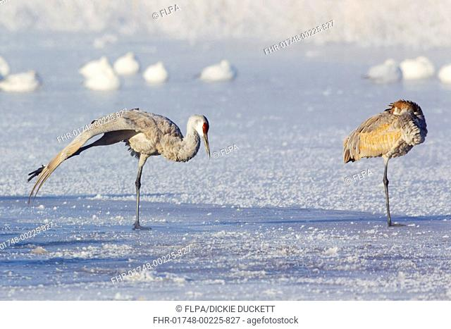 Sandhill Crane Grus canadensis adult and juvenile, stretching and resting on frozen lake, with Snow Goose Chen caerulescens flock in background