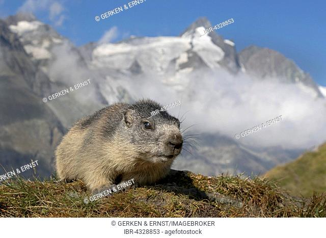 Young Alpine marmot (Marmota marmota) in front of Grossglockner, High Tauern National Park, Austria