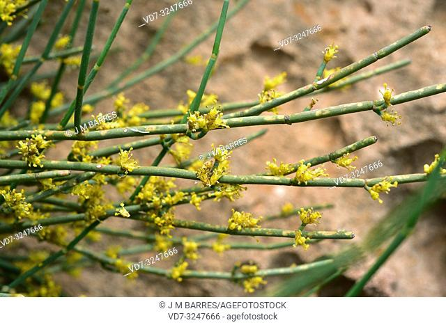 Joint pine (Ephedra fragilis) is a poisonous shrub native to eastern and western Mediterranean Basin. Flowers detail. This photo was taken in Menorca