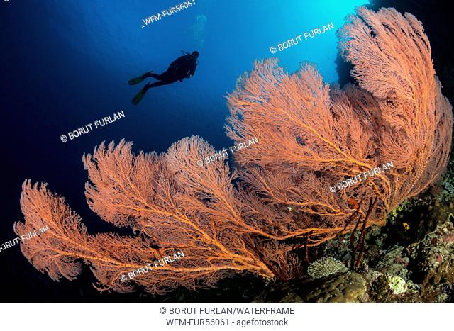 Red Sea Fan, Melithaea sp., Pantar, Alor Archipelago, Lesser Sunda Islands, Indonesia