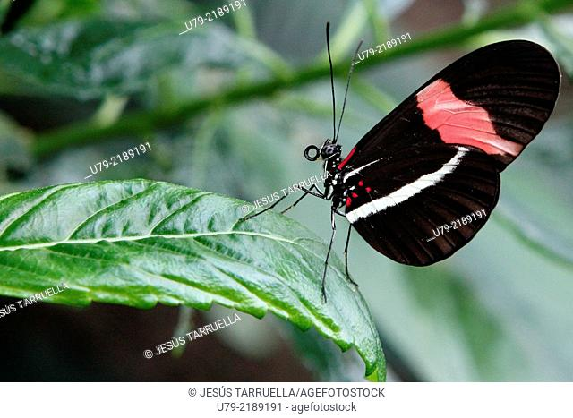 Heliconius erato; Mariposas de América