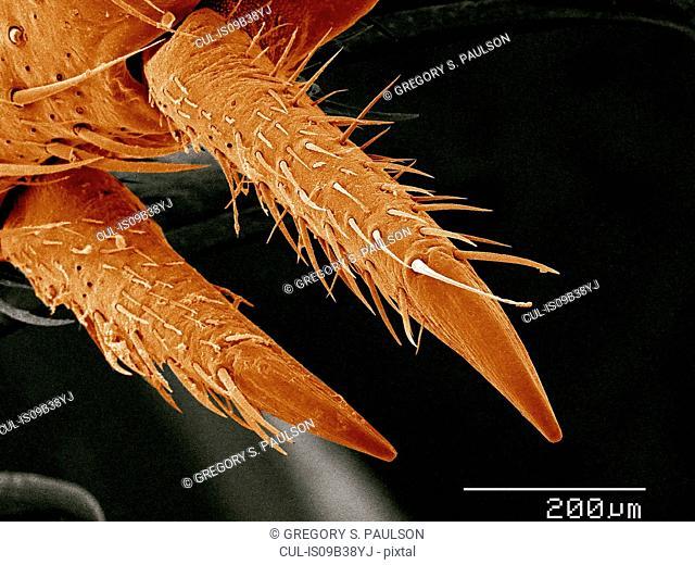 Tarsal claws of house cricket, Acheata sp