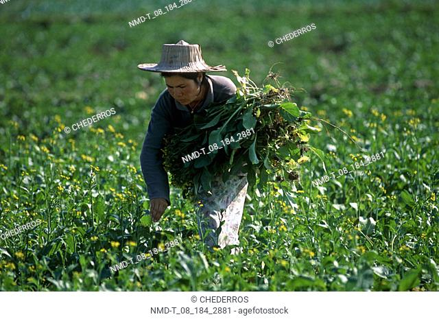 Mature woman harvesting in a field, Thailand