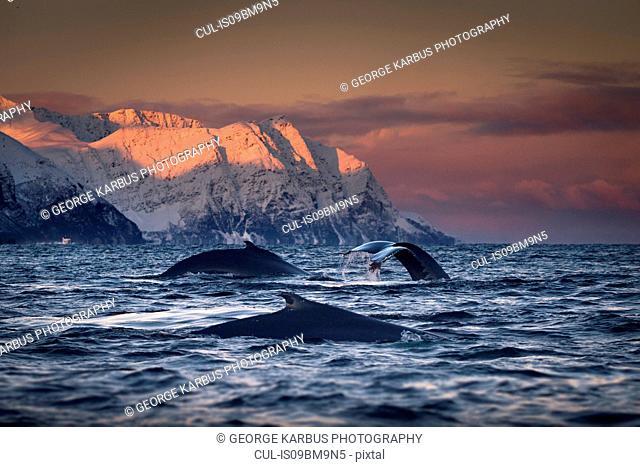Group of humpback whales diving, Skjervøy, Troms, Norway