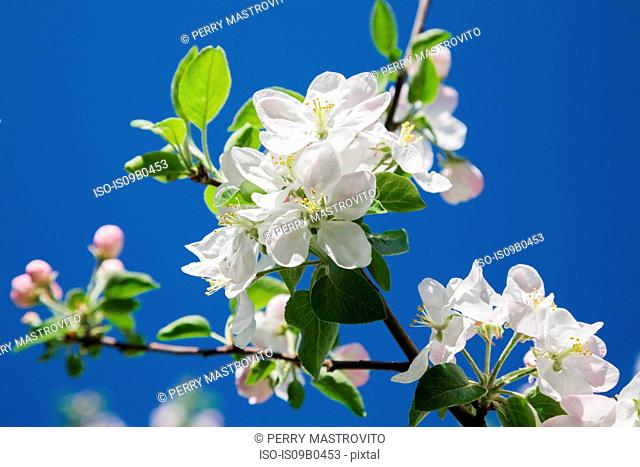 Close-up of white Prunus x eminens (Crimson Passion) - Dwarf sour cherry tree blossoms against blue sky in spring