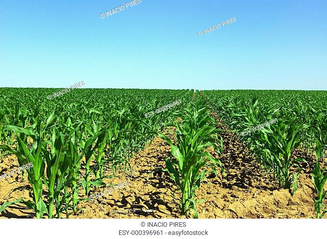 Field of green maize