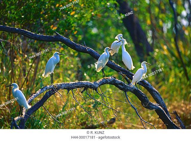 Snowy Egret, Egretta thula, Ardeidae, Egret, Heron, bird, animal, Lagarta Lodge, Nosara, Costa Rica