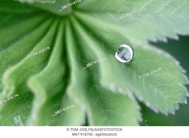 Leaf detail with water droplet close up England , UK