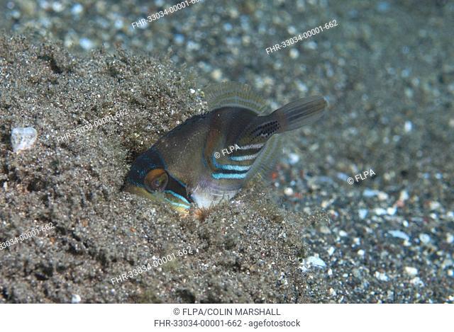 Blackbar Triggerfish Rhinecanthus aculeatus juvenile, burying in sand, Reta Island, Alor Archipelago, Lesser Sunda Islands, Indonesia