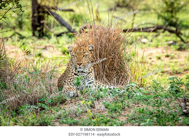 Starring Leopard in the Kruger National Park, South Africa