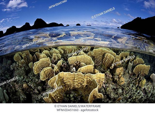 Fire Corals growing on Reef Top, Millepora sp., Raja Ampat, West Papua, Indonesia