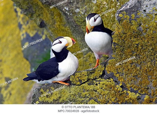 Horned Puffin (Fratercula corniculata) pair perched on lichen-covered ledge Pribilof Islands, Alaska