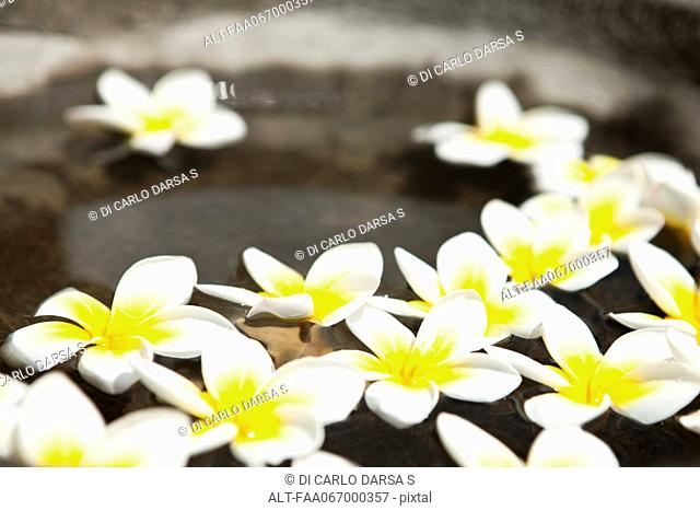 Frangipani flowers floating in water