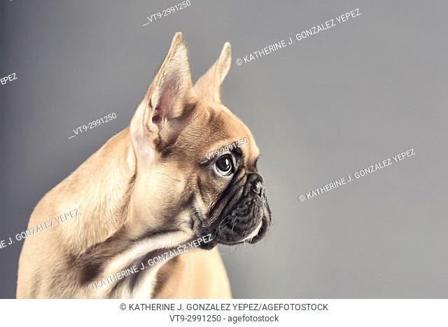 Studio portrait of a french bulldog in front of a grey background