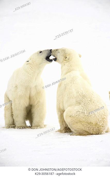 Polar Bear (Ursus maritimus) Interaction and sparring, Wapusk NP, Cape Churchill, Manitoba, Canada