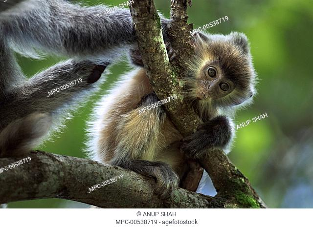 Silvered Leaf Monkey (Trachypithecus cristatus) five month old baby being groomed, Bako National Park, Sarawak, Borneo, Malaysia