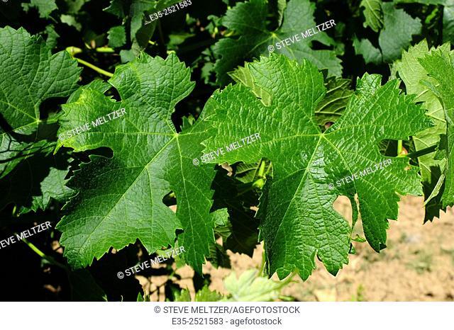 Grape leaves in full summer