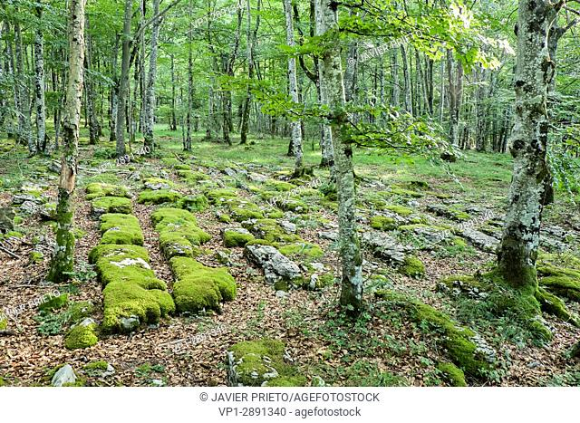 Lapiaces formed by the erosion of the limestone rock in the soil of the beech trees of the Natural Monument of Monte Santiago. A natural space