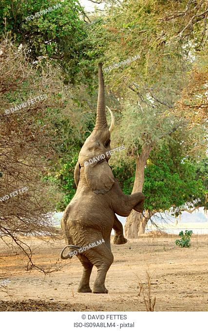 Elephant standing on hind legs, Mana Pools National Park, Zimbabwe, Africa
