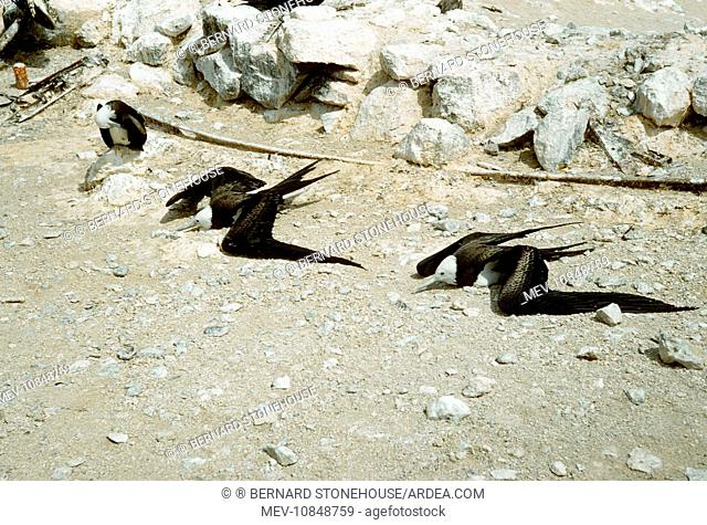 FRIGATEBIRDS - sunning (Fregata aquila). Ascension Island