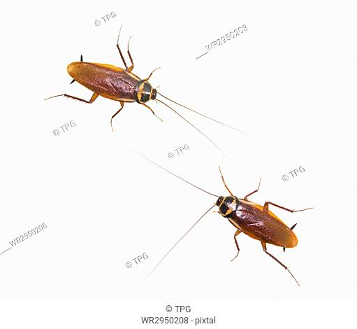 Two isolated cockroach on white background, insect not welcome in kitchen