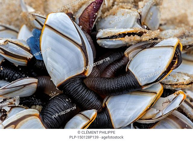 Common goose barnacles / pelagic gooseneck barnacle / smooth gooseneck barnacles (Lepas anatifera) washed on the beach