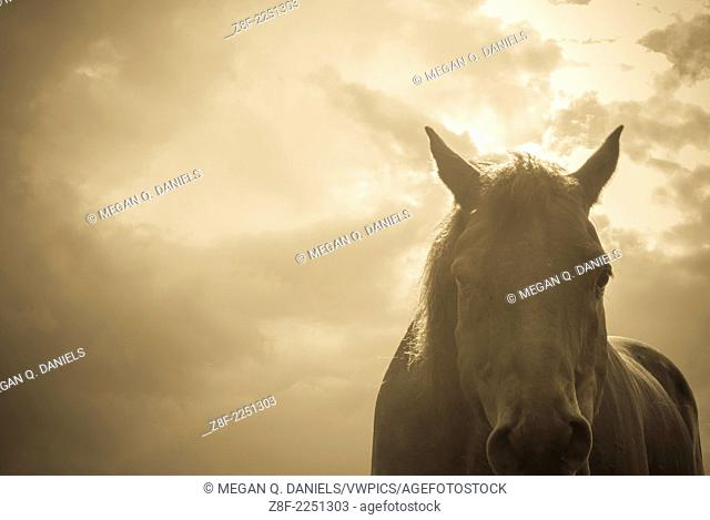 A 17-hand, 10-year-old Guelding Quarter horse standing against a stormy sky in Canandaigua, NY. The photo has a sepia filter on it