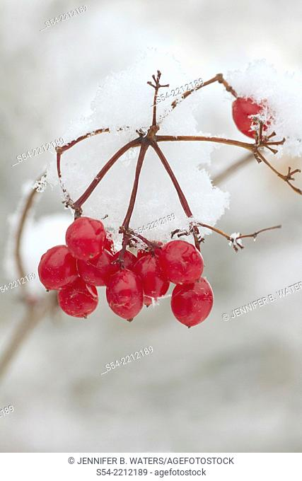 Highbush Cranberries in the snow. Viburnum opulus var. americana