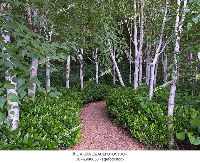Himalayan birches Betula utilis var. jacquemontii