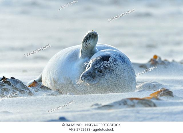 Grey Seal, Halichoerus grypus, Pup on the Beach with waving Sand, Helgoland, Dune, North Sea, Island, Schleswig-Holstein, Germany