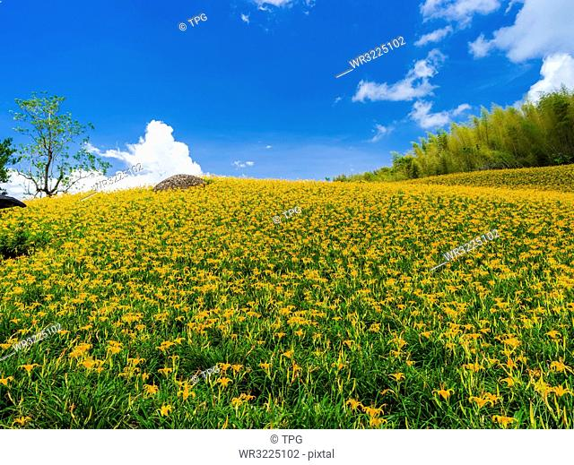 Taiwan;Hualien County;Yuli Town;Golden Needle flower;Agriculture;Houdong Rift Valley;Chike Mountain