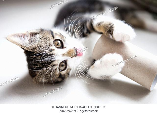 Cute kitten playing with a toilet roll