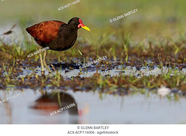 Wattled Jacana (Jacana jacana) perched on the ground in the Pantanal region of Brazil