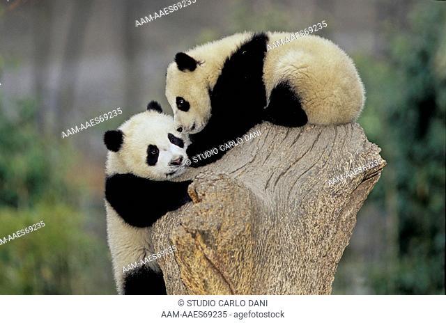 Giant Panda (Ailuropoda Melanoleuca), Babies, Wolong, Sichuan, China, Sichuan Giant Panda Sanctuary, Man & Biosphere Protected Area, Unesco