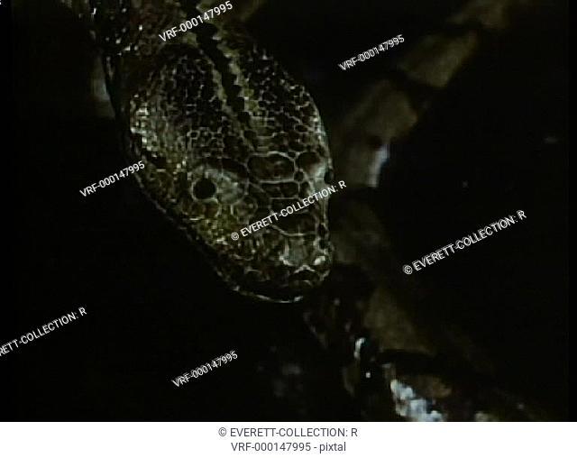 Close-up of python flicking tongue
