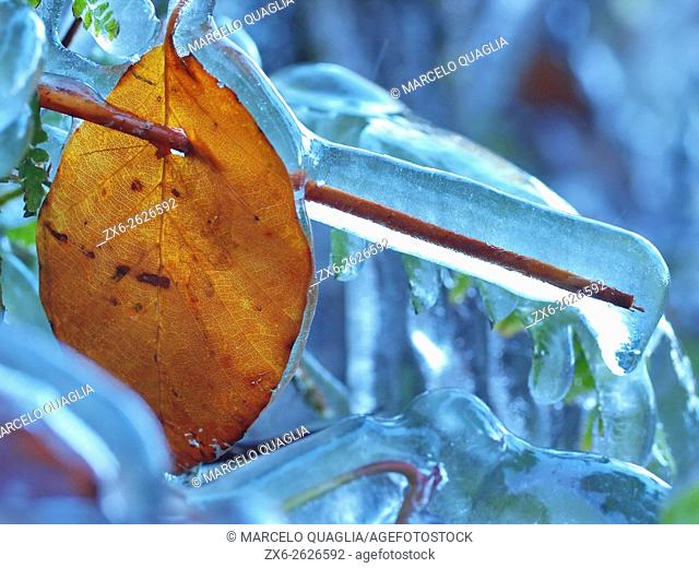 Frozen leaf. Wintertime at Montseny Natural Park. Barcelona province, Catalonia, Spain