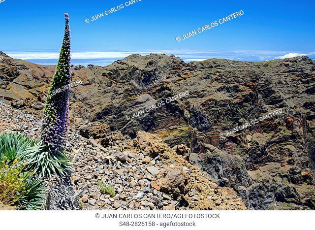 Tajinaste en La Palma. Islas Canarias. España. Europa. Tajinaste es el nombre genérico que se le da en las Islas Canarias a algunas especies
