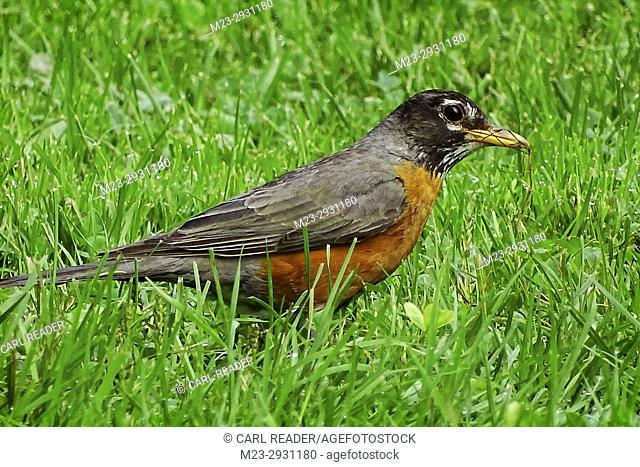 An American robin,Turdus migratorius, picks up a few strands of dry grass, Pennsylvania, USA