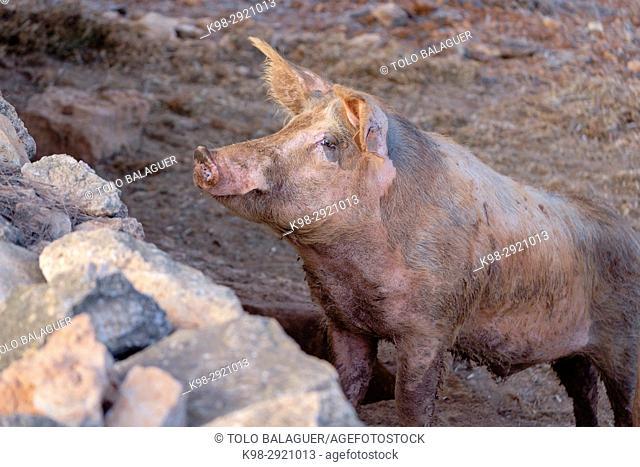 Domestic pig (Sus scrofa domestica), Sant Carles de Peralta, Ibiza, Balearic Islands, Spain