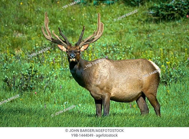 ROCKY MOUNTAIN ELK Cervus canadensis nelsonii bull male in summer meadow, Rocky Mountain National Park, Colorado, USA