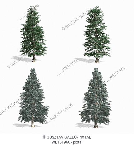 Spruce trees, isolated on white background