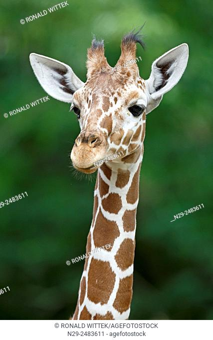 Reticulated Giraffe (camelopardalis reticulata), young, captive, Germany