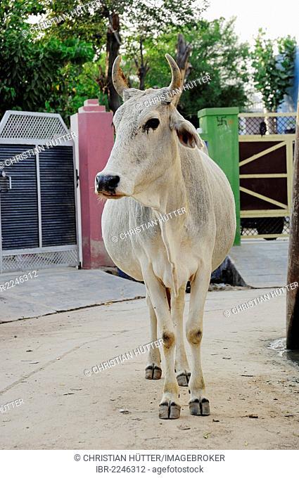 Zebu cattle (Bos primigenius indicus), in the street, holy cow, Bharatpur, Rajasthan, India, Asia, PublicGround