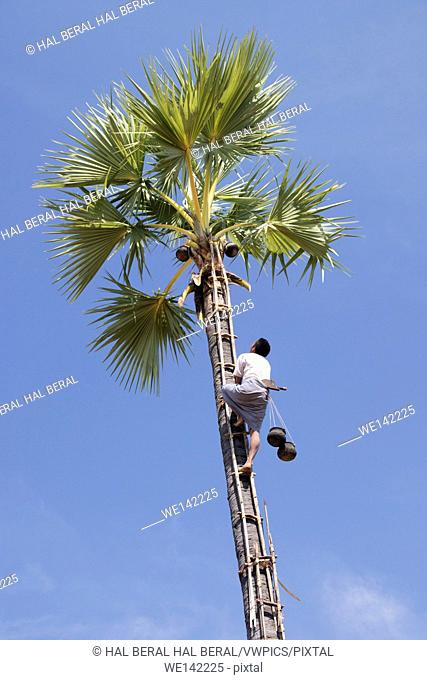 Farmer climbs rickety bamboo ladder to the top of palm tree to gather sap for palm sugar. rural Myanmar