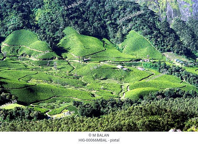 TEA PLANTATION AND NATURAL FOREST BLENDING TOGETHER, MUNNAR