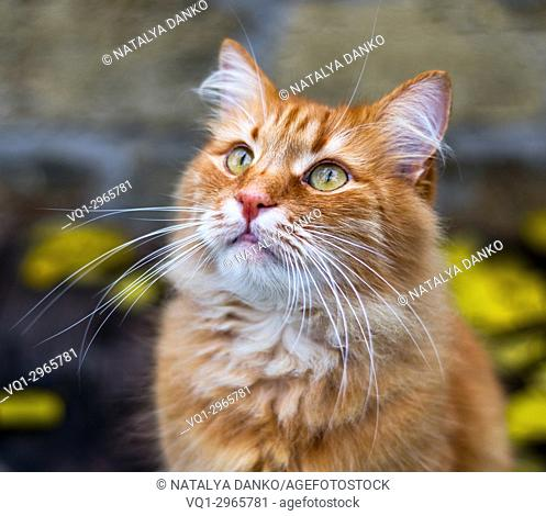 portrait of a fluffy red cat on the street, close up